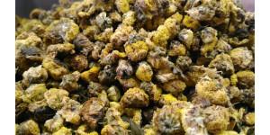 perinnial chamomile 黄金菊