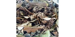 linden leaf菩提叶
