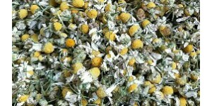Gemerny chamomile   德国洋甘菊