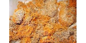 Lethariella cladonioides 红雪茶