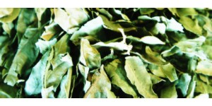 dogbane leaf tea 罗布麻茶